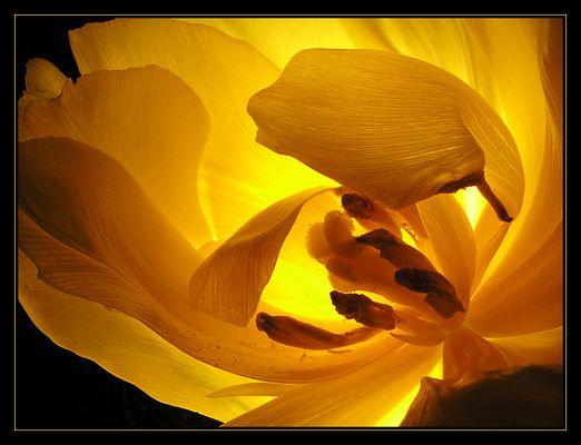 Tulpe, aufgeblüht (reload)
