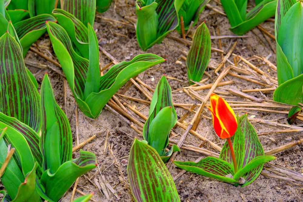 """Tulpe, aus der """"Nähe"""" von Amsterdam ."""