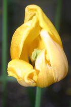 Tulpe aus unserem Garten