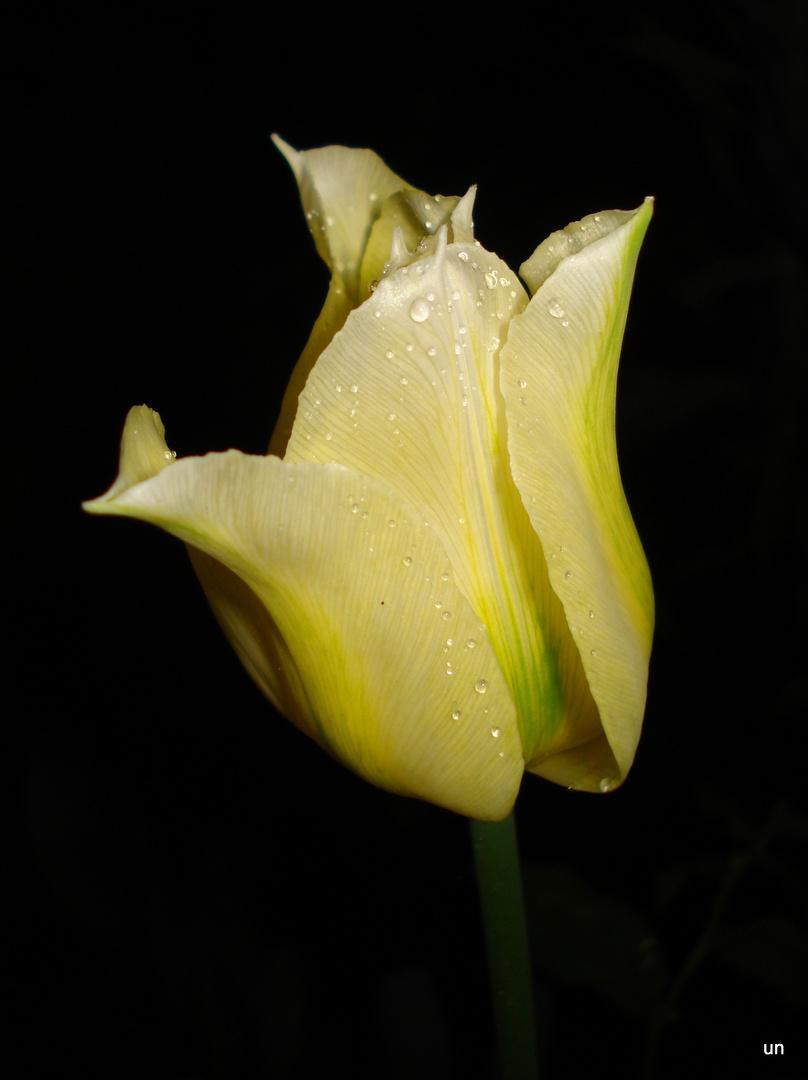 Tulpe bei Nacht