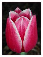 ... Tulpe