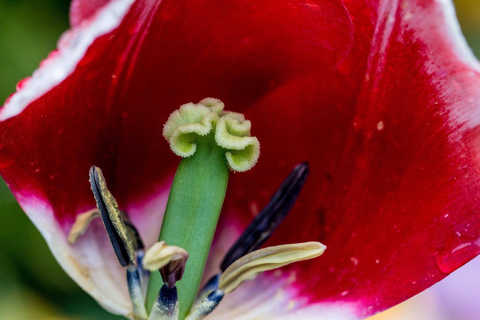 Tulpe Detail