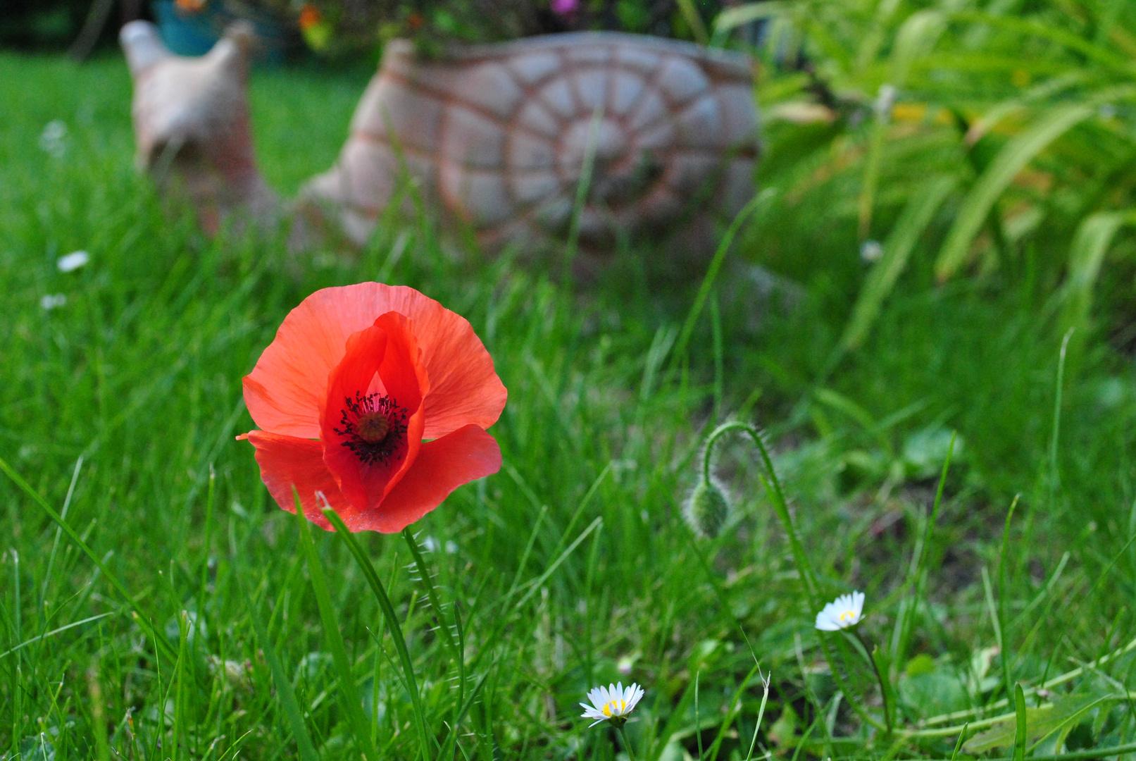 Tulpe die zweite