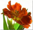 Tulpe durchleuchtet