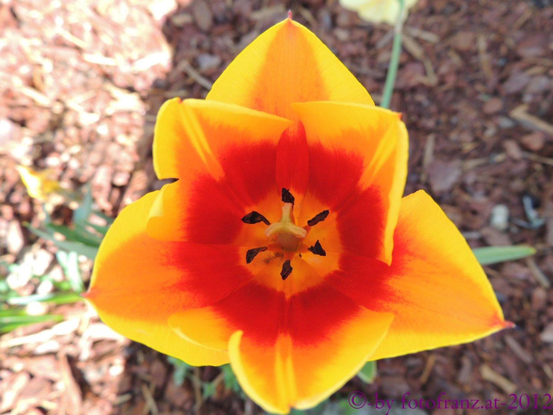 Tulpe einmal anders Fotografiert