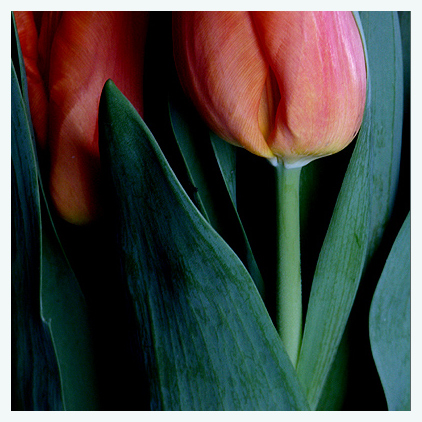 Tulpe ... Endversion ...