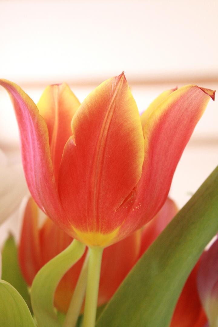Tulpe--- es werde Frühling---