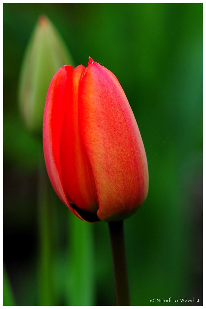 ---- Tulpe ----