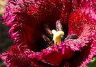 Tulpe (ganz nah)