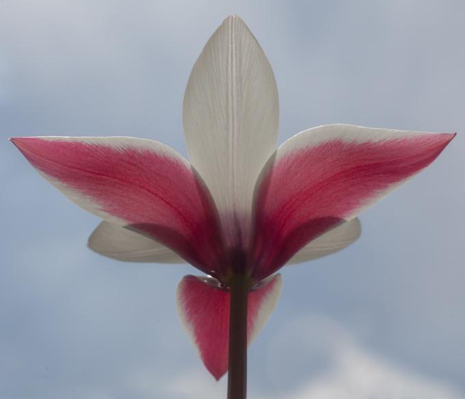 Tulpe Himmel