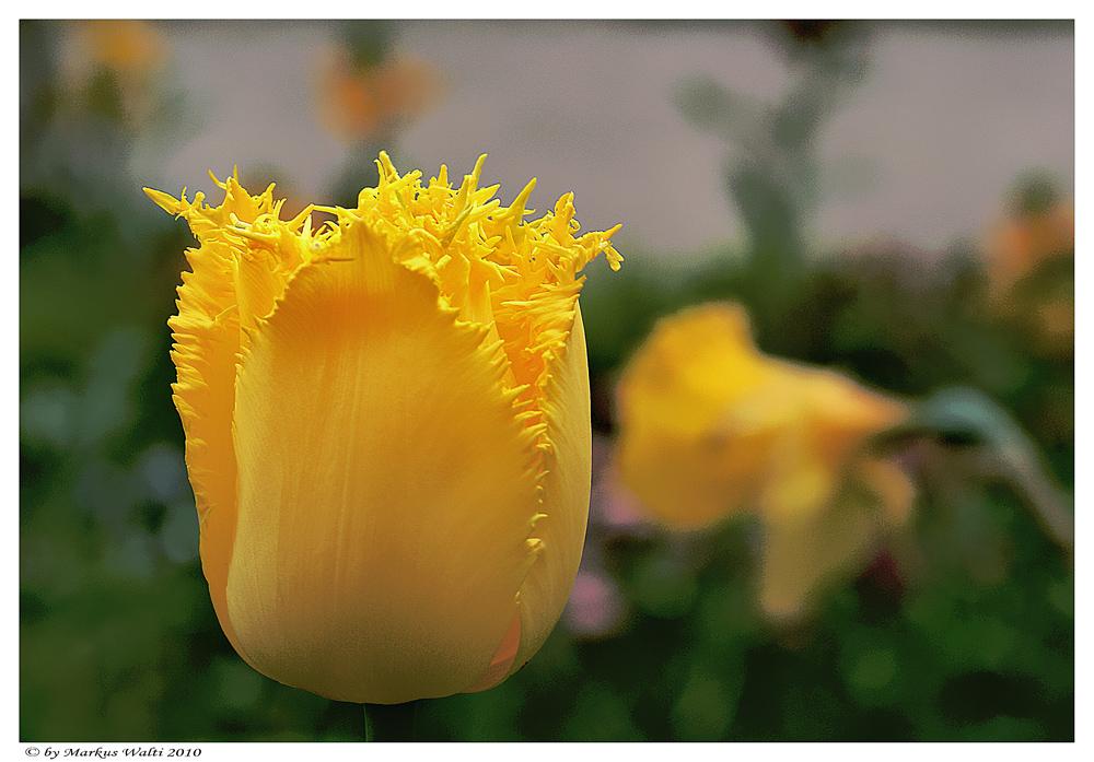 Tulpe I