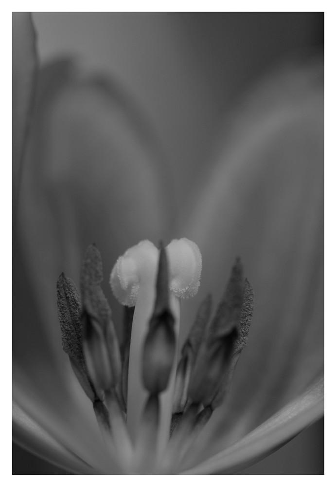 Tulpe II