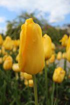 Tulpe im botanischen Garten München 2