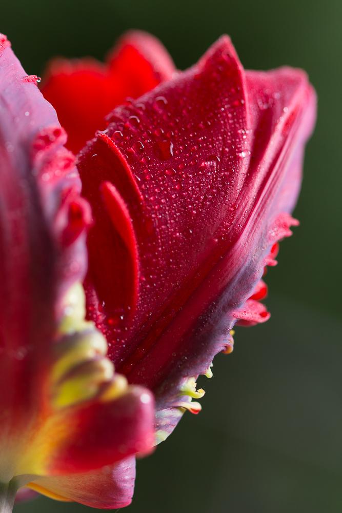 Tulpe im Detail #2
