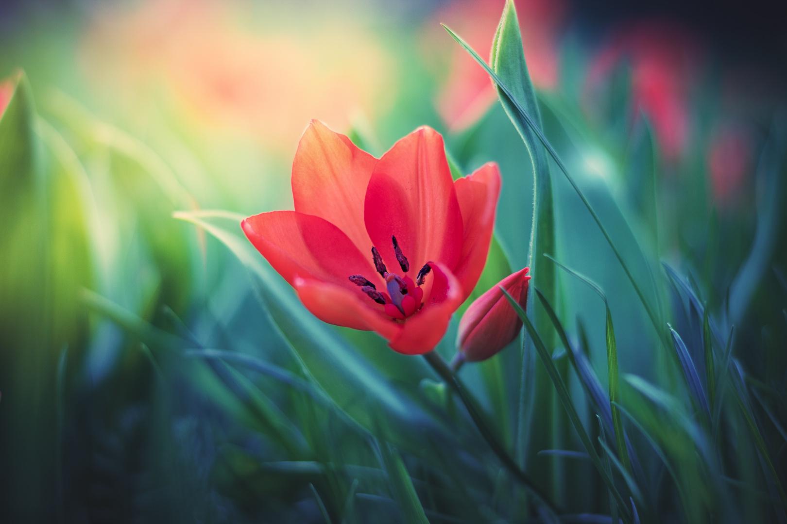 Tulpe im Farbenmeer