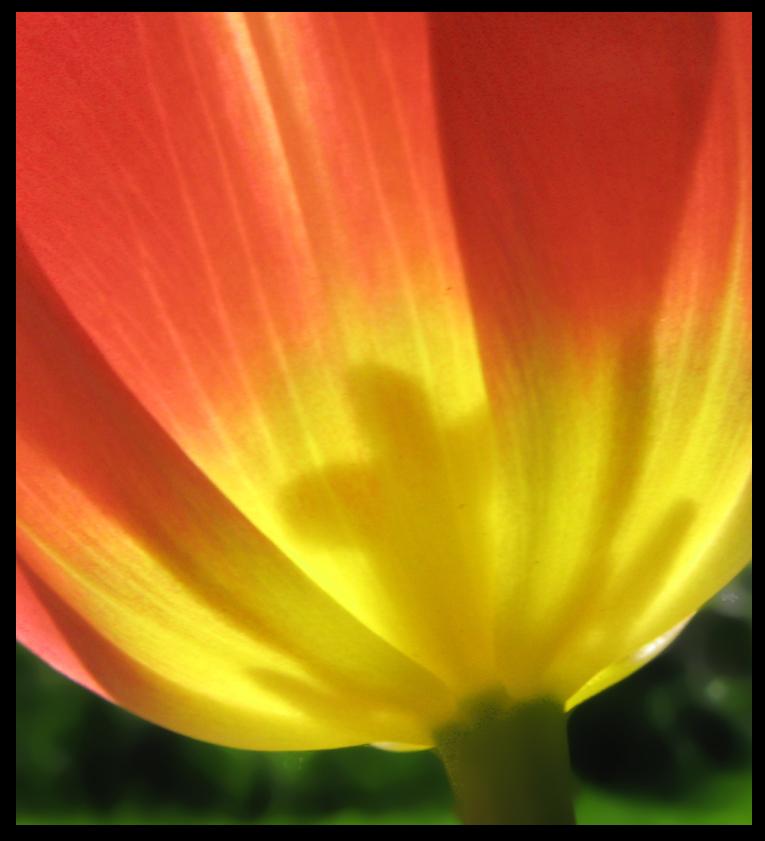 Tulpe im Gegenlicht