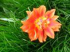 Tulpe im Gras