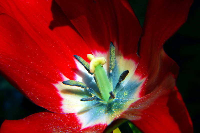 "Tulpe im ""Herbst"" des Lebens"