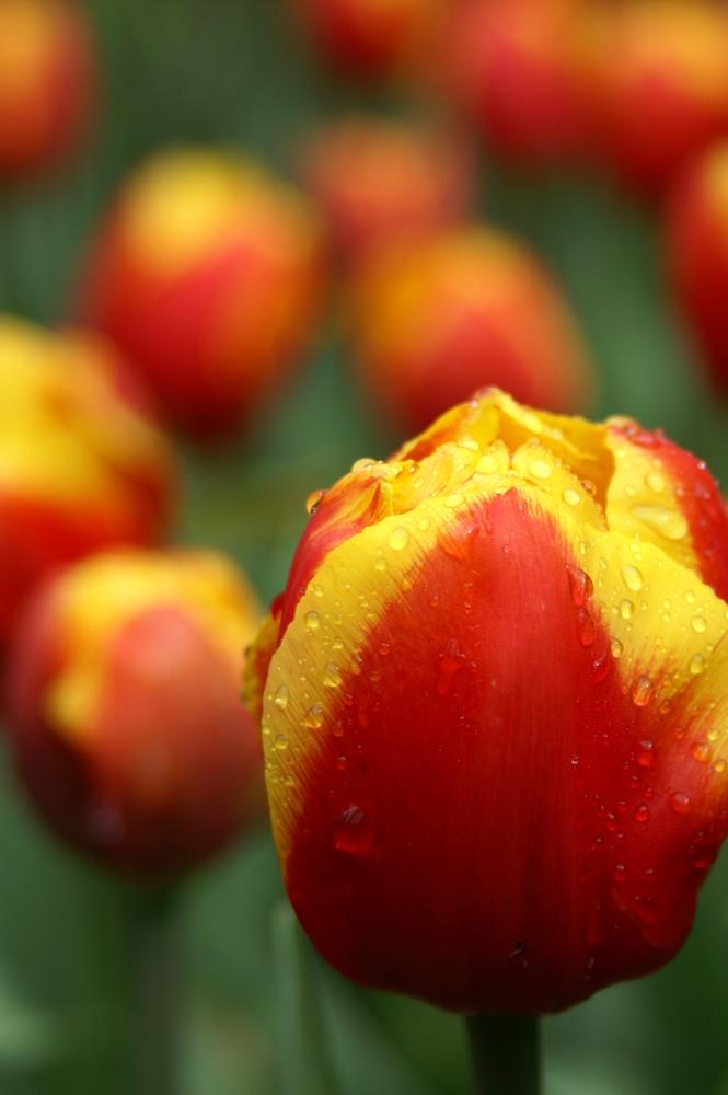 tulpe im keukenhof