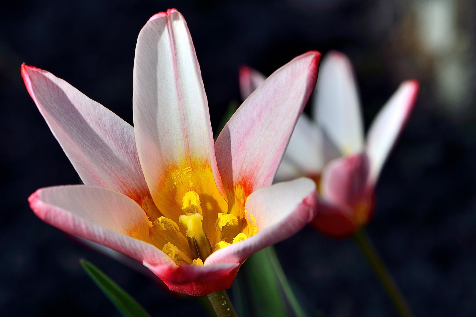 Tulpe im Licht
