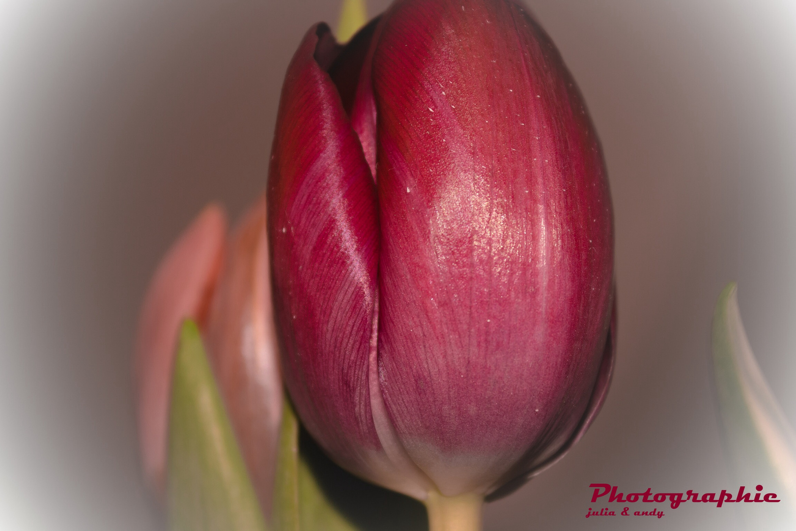 Tulpe im Makro