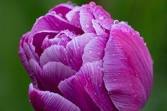 Tulpe im Regen