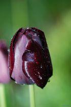 Tulpe im Regen.