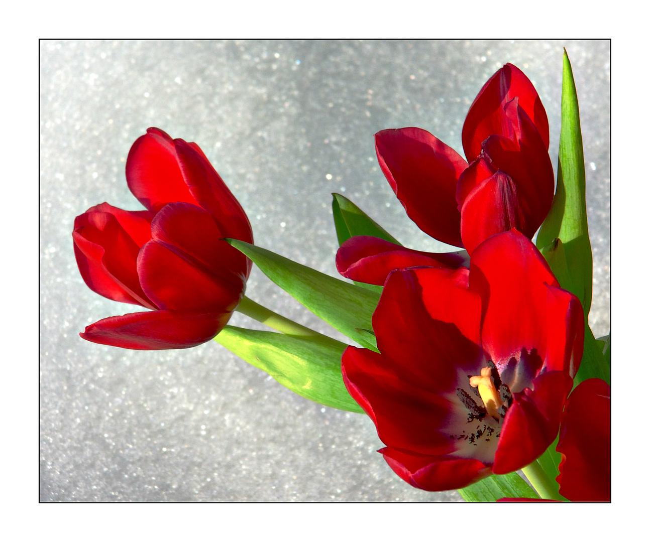 Tulpe im Schnee..