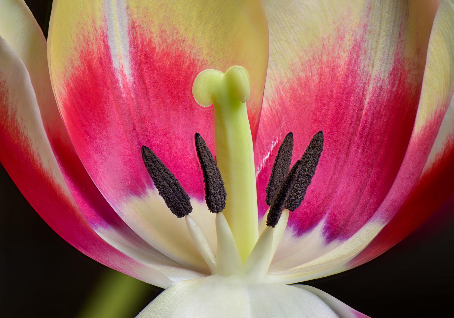 Tulpe im Schnitt