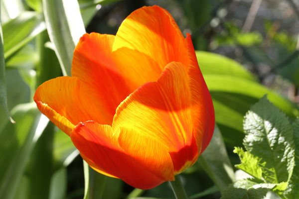 Tulpe im Sonnenlicht