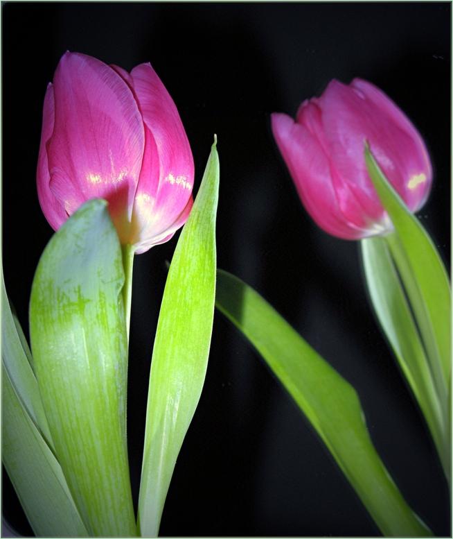 Tulpe im Spiegel