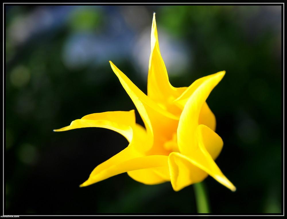 Tulpe im Vorgarten