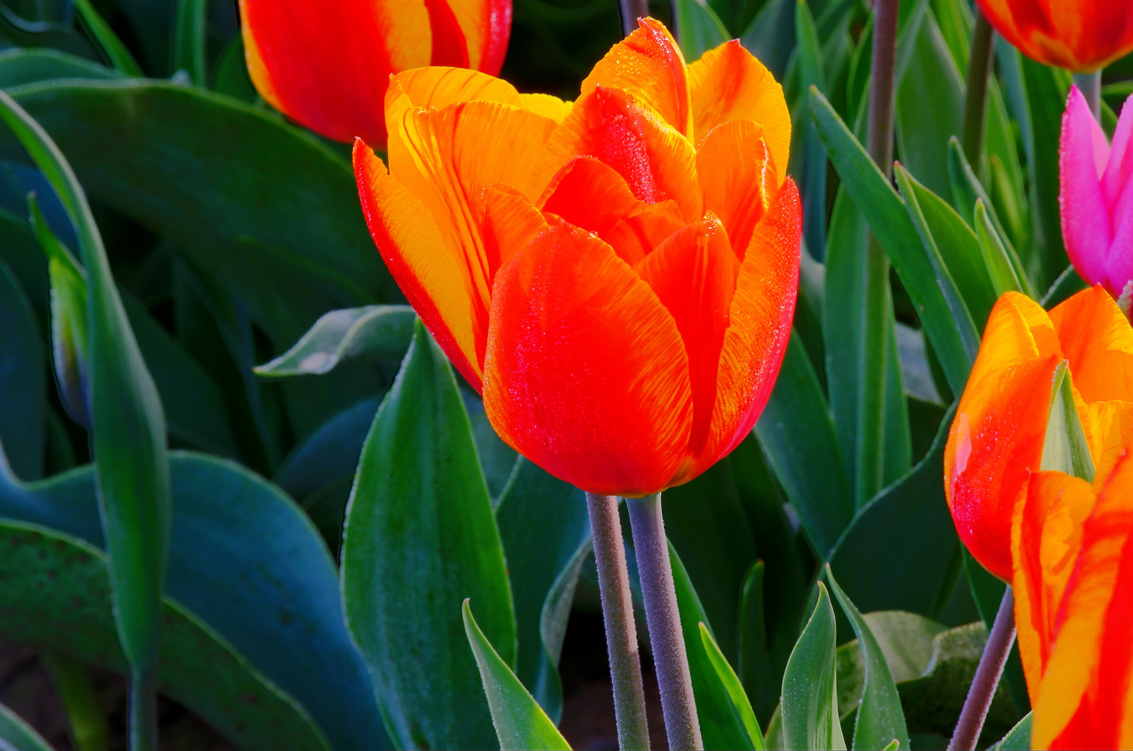 Tulpe in der Blühte