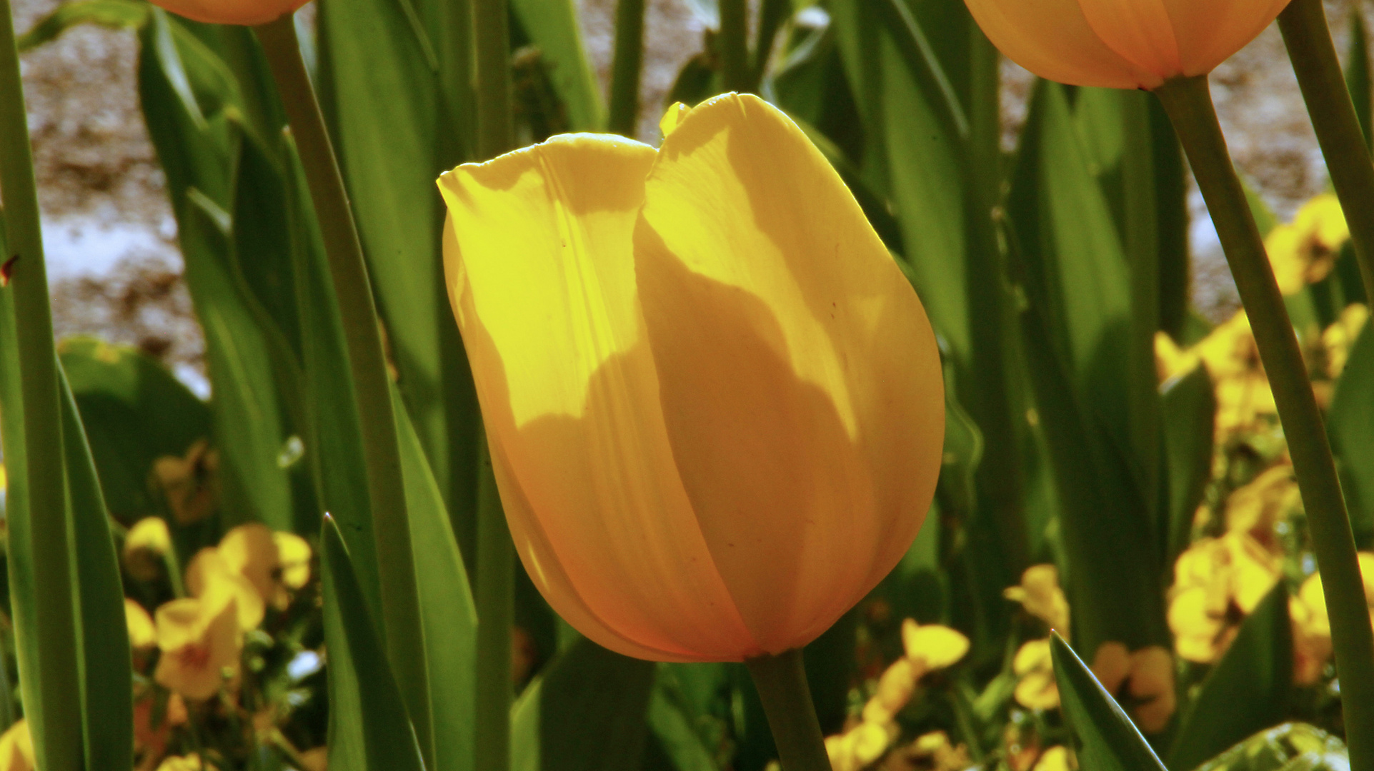 Tulpe in der Frühlingssonne
