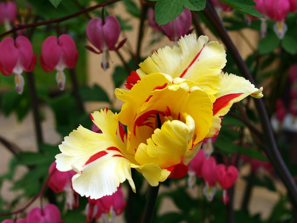 Tulpe in Flammen (3)