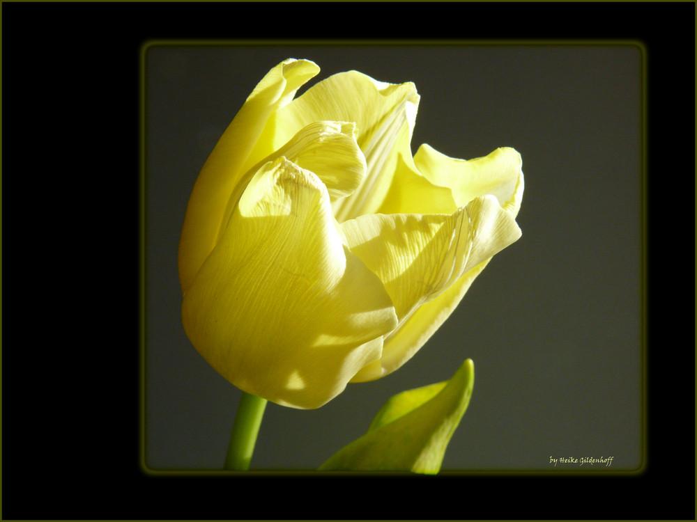 Tulpe in gelb