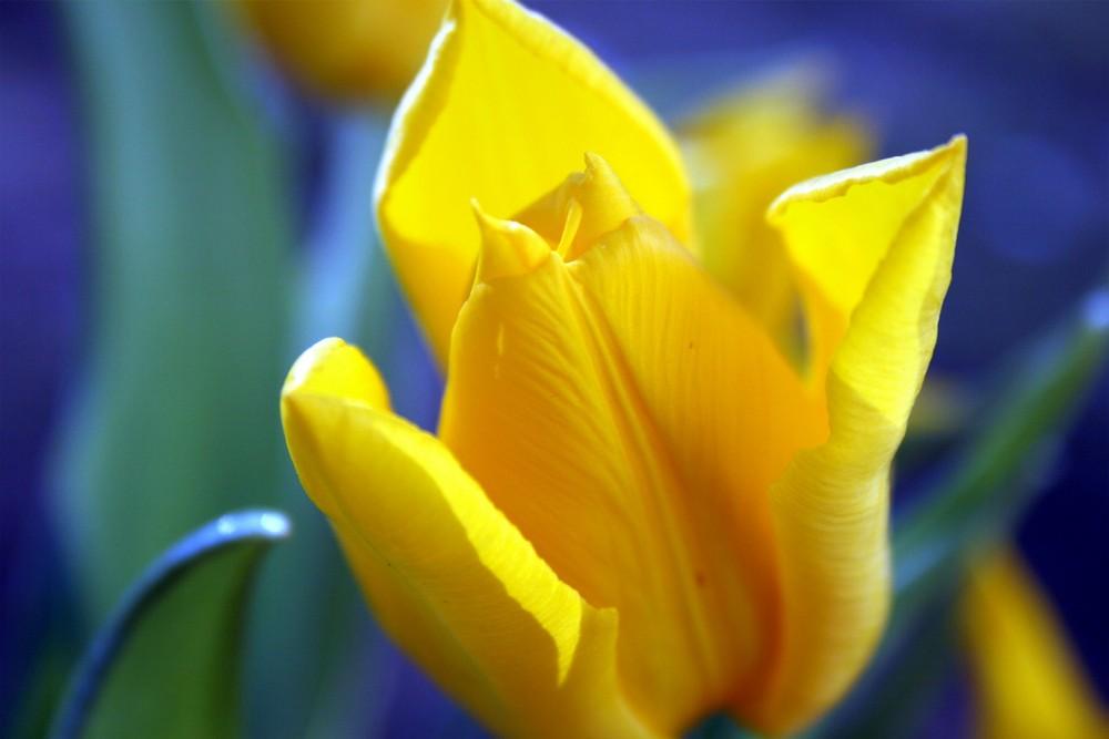 Tulpe in gelb-blau