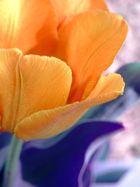 tulpe in gold