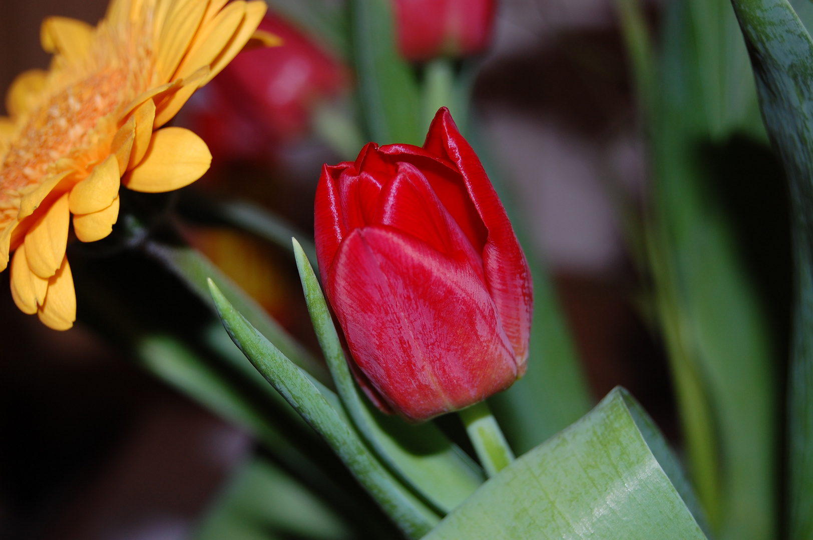 Tulpe in Schieflage