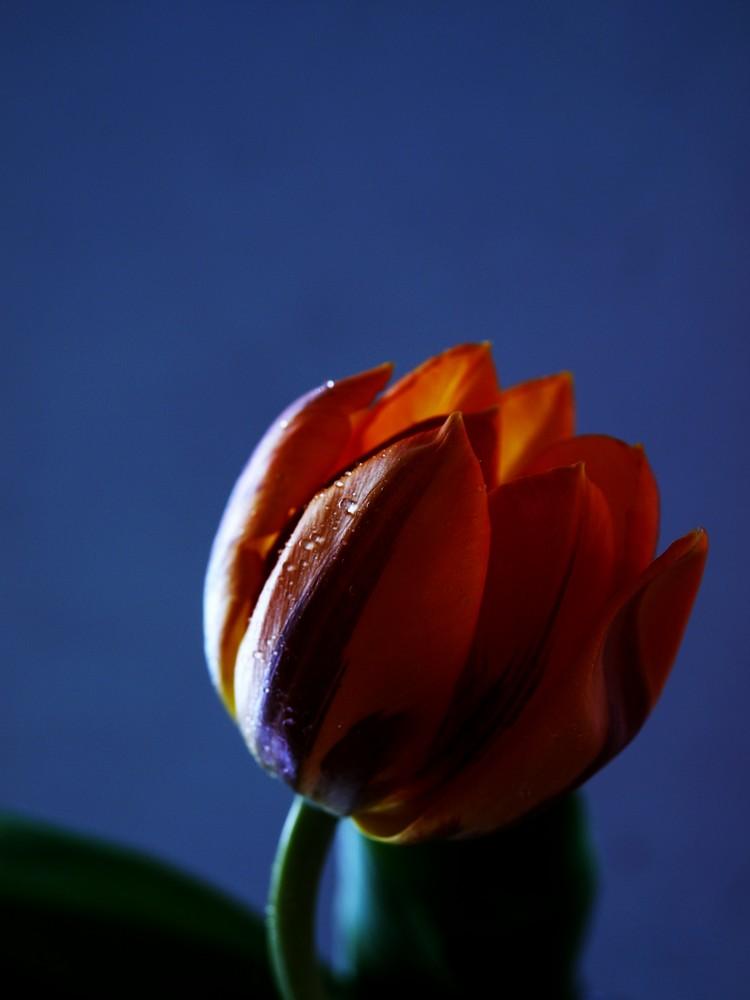 Tulpe in Sonnenlicht