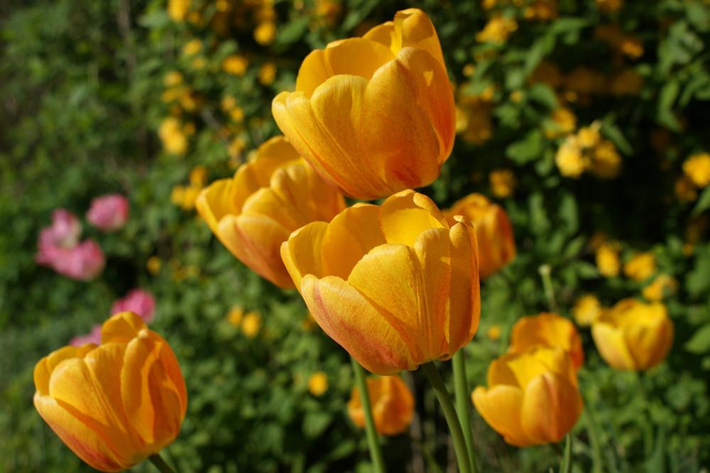 Tulpe in unserem Garten
