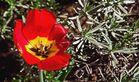 Tulpe in voller Blüte - aber schon kurz vor dem Verblühen!