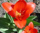 Tulpe ins Herz geguckt