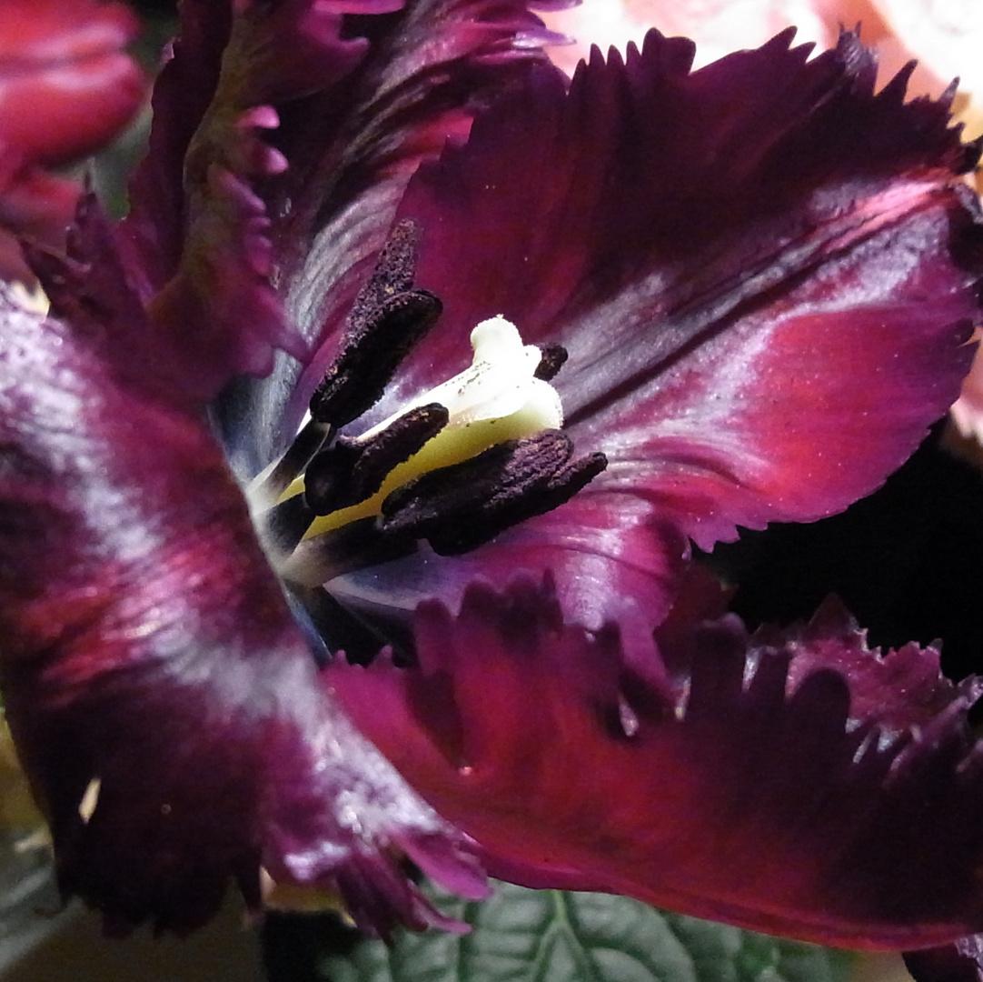 Tulpe Lila