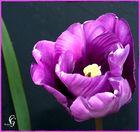 Tulpe Lila - Aquarell