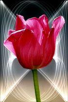 Tulpe mit ...
