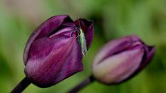 """Tulpe mit """"Besucher""""..."""