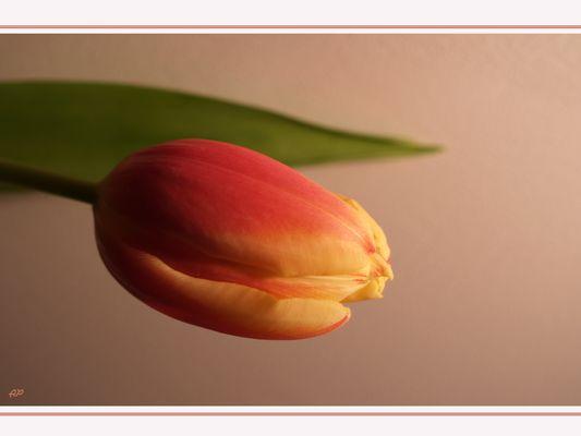 Tulpe mit Blatt
