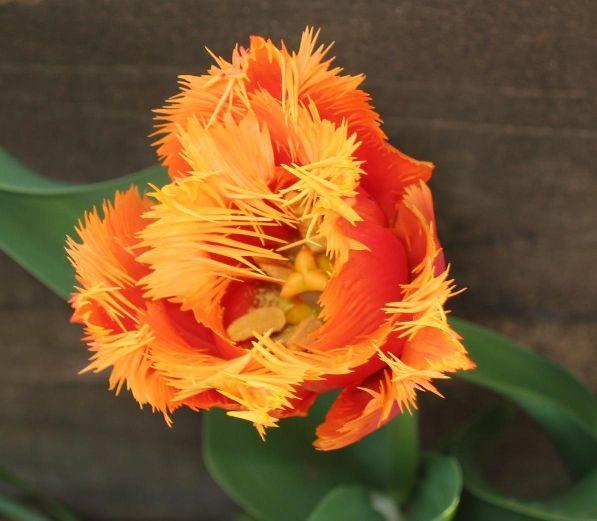 Tulpe mit Franseln
