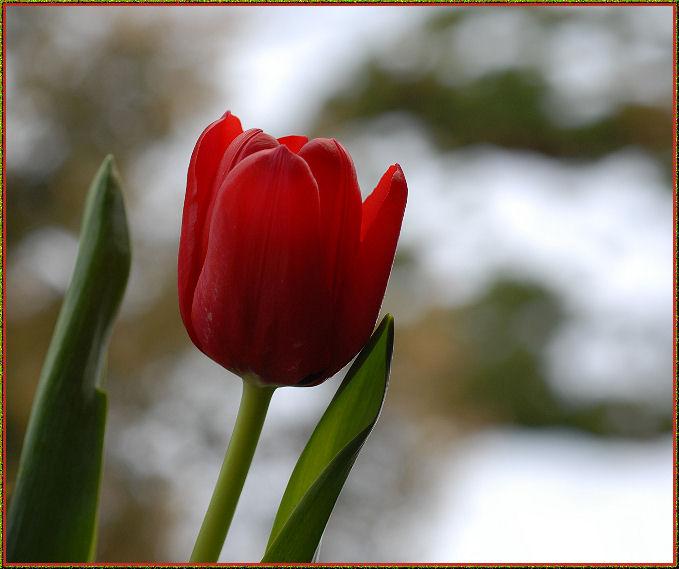Tulpe mit Hauch von Schnee-Hintergrund